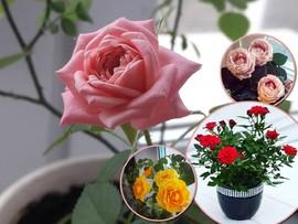 Миниатюрные красавицы: правила ухода за комнатными розами