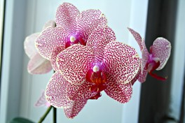 На конкурс. Полив орхидей (нюансы). совет новичкам