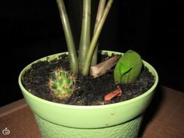 Замиокулькас: выращиваем с нуля)